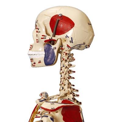 Mini-Skelett mit Muskelbemalung / Anatomisches ...