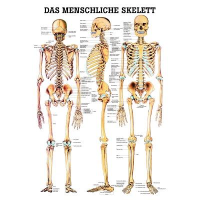 Anatomische Lehrtafel, Das menschliche Skelett
