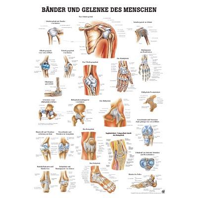 Anatomische Lehrtafel, Bänder und Gelenke
