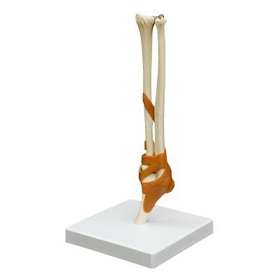 Ellenbogengelenk / Anatomisches Modell