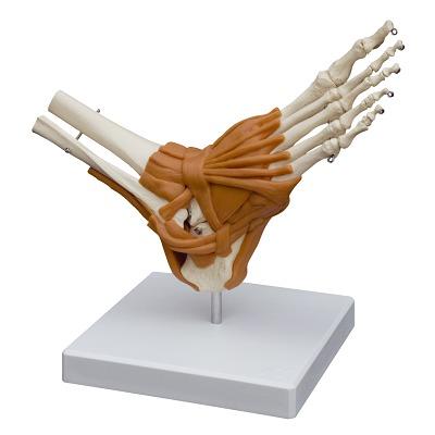 Fuß mit Gelenkbändern / Anatomisches Modell