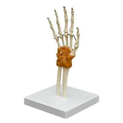 Handgelenk / Anatomisches Modell