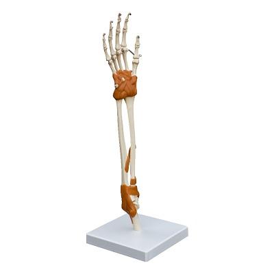 Hand- und Ellenbogengelenk/Anatomisches Modell