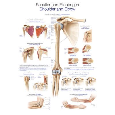 Erler Zimmer Anatomische Lehrtafel, Die Schulter und der Ellenbogen