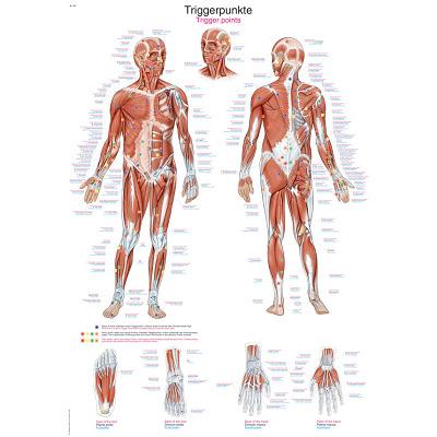 Erler Zimmer Anatomische Lehrtafel, Die Triggerpunkte