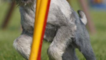 Agility Training: Fitness-Sport für Hunde und Herrchen
