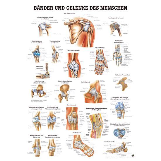Anatomische Lehrtafel Bänder und Gelenke