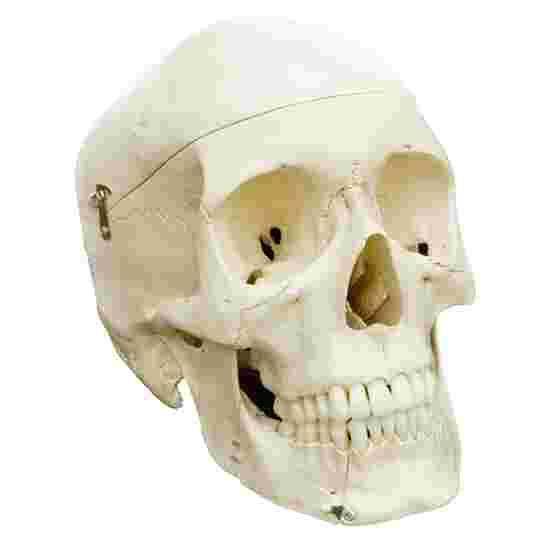 4-Part Skull – Standard / Anatomical Model