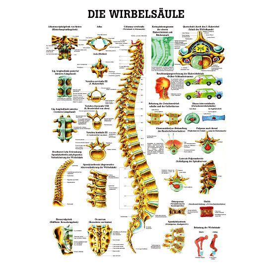 Anatomische Lehrtafel Die Wirbelsäule