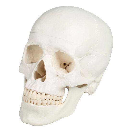 Erler Zimmer 3-delt Kranium-model