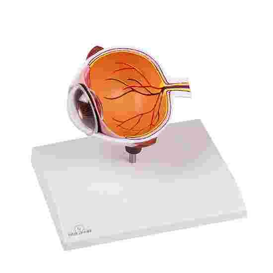 """Erler Zimmer Anatomie-Modell """"Augenhälfte"""""""