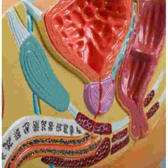 """Erler Zimmer Anatomie-Modell """"Becken"""" Männlich"""