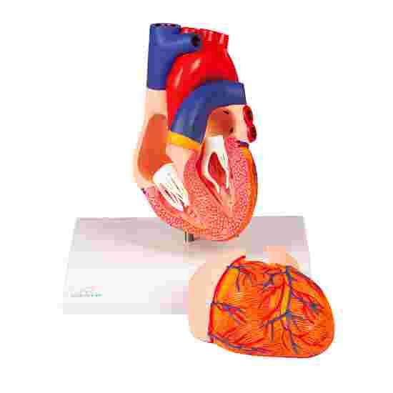 """Erler Zimmer Anatomie-Modell """"Herz"""""""