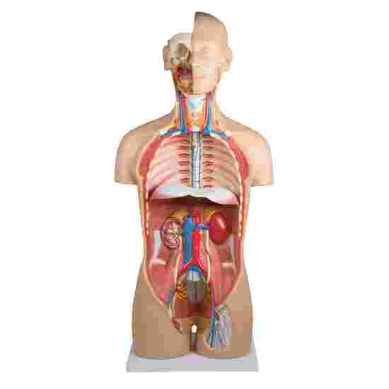 """Erler Zimmer Anatomie-Modell """"Torso mit geöffnetem Rücken"""""""