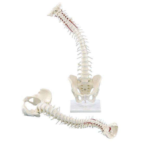 Erler Zimmer Flexible Wirbelsäule mit Becken und Stativ