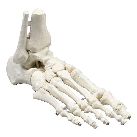 Erler Zimmer Foot Skeleton