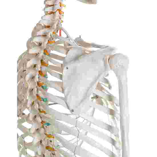 "Erler Zimmer ""Oscar"" Skeleton for Schools"