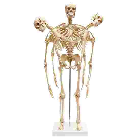 Mini Skeleton with Flexible Spine