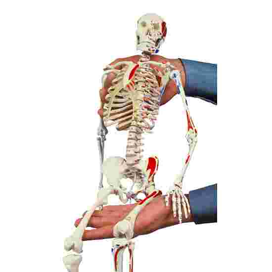Mini Skeleton with Painted Muscle Locations / Anatomical Model