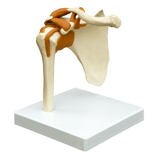 Skulderled/anatomisk model