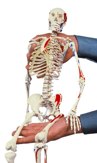 Mini-Skelett mit Muskelbemalung / Anatomisches Modell