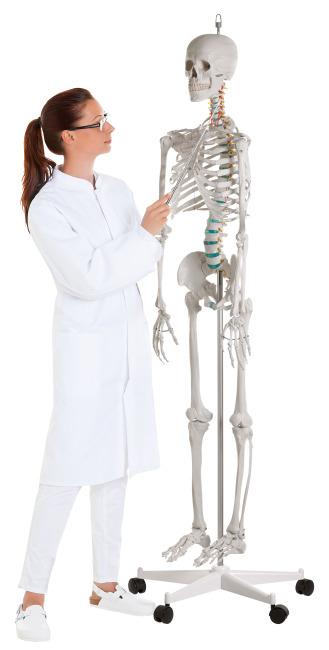"""Erler Zimmer Det Bevægelige Skelet """"Hugo"""""""