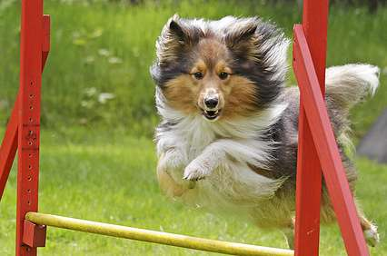 Sheltie beim Agility-Training