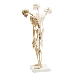Mini Skeleton with Flexible Spine