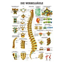Anatomic Wall Charts (in German) The human skeleton