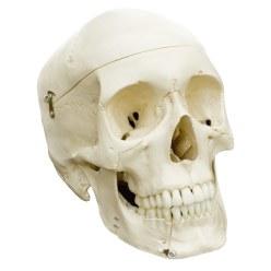 Kranie 4-delt -standard/anatomisk model