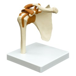 Shoulder Joint / Anatomical Model