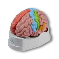 """Erler Zimmer Anatomie-Modell """"Gehirn"""""""