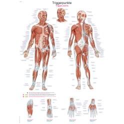 Erler Zimmer Anatomische Lehrtafel Das menschliche Skelett